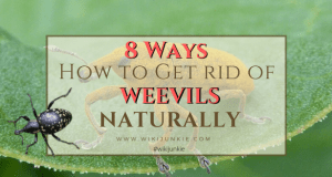 HOW TO GET RID OF WEEVILS NATURALLY wikijunkie