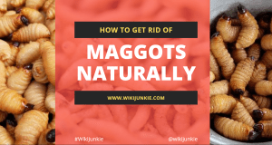 How to Get Rid of Maggots Naturally