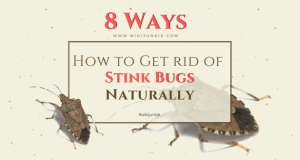 8 Remedies - How to Get rid of Stink Bugs Naturally - wikiJunkie