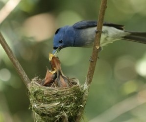 Do Birds Really Abandon their chicks if touched by humans?