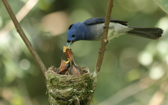 Mother Birds Feeding Baby Bird