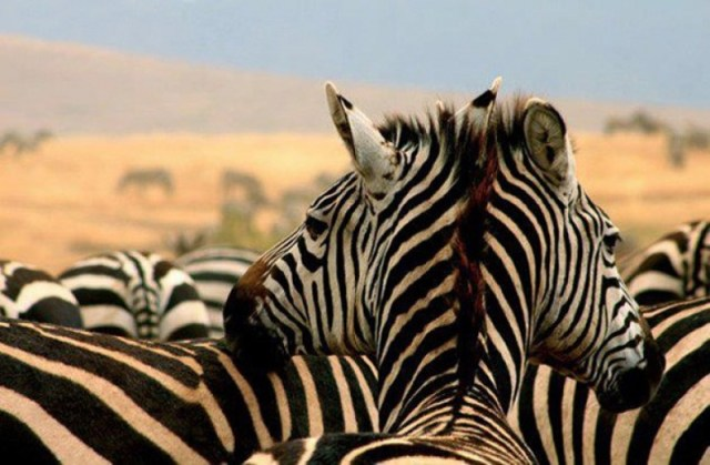 a-two-headed-zebra-2