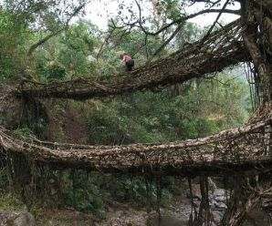 India's Amazing Living Bridges Are Made Of Living Trees and Vines!