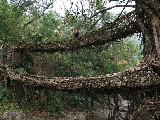 living bridges of cherrapunji Meghalaya