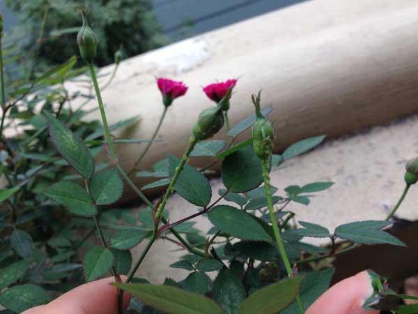 Green aphid in velvet rose