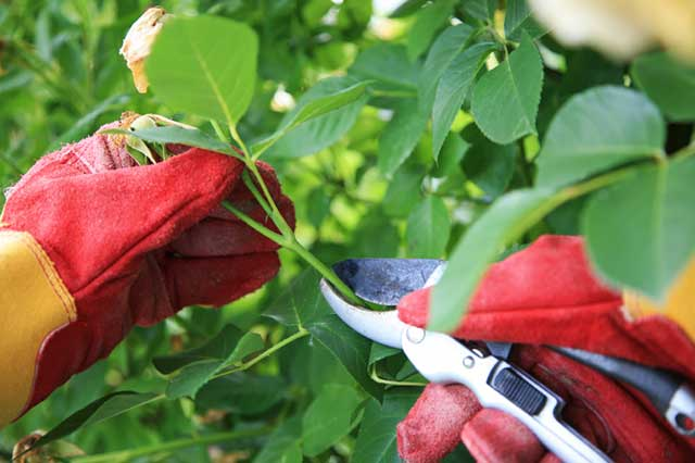 How to take care of the rose tree - pruning