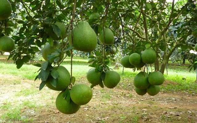 Green skin pomelo cultivation techniques for high yield