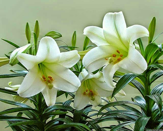 Techniques to grow beautiful lilies