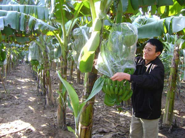 Harvest and preserve bananas