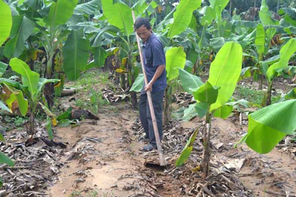 Banana cultivation gives a pretty good income