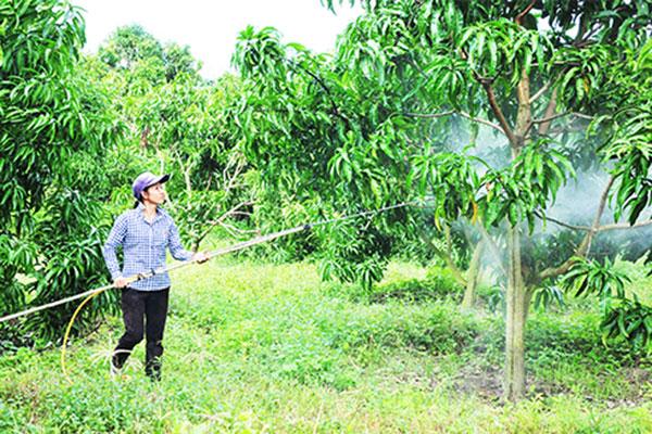 Regularly water the mango garden