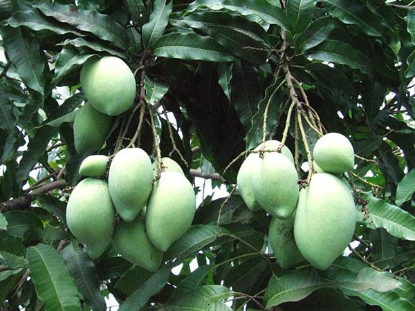 Harvest the mango properly