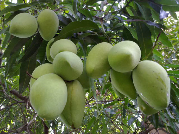 High yield mango cultivation techniques