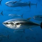 El atún,  Guía completa para que los conozcan bien