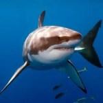 Tiburones, los grandes depredadores de los océanos