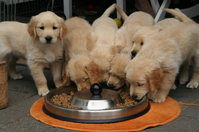 Golden Retriever Puppies eating Dry Pet food