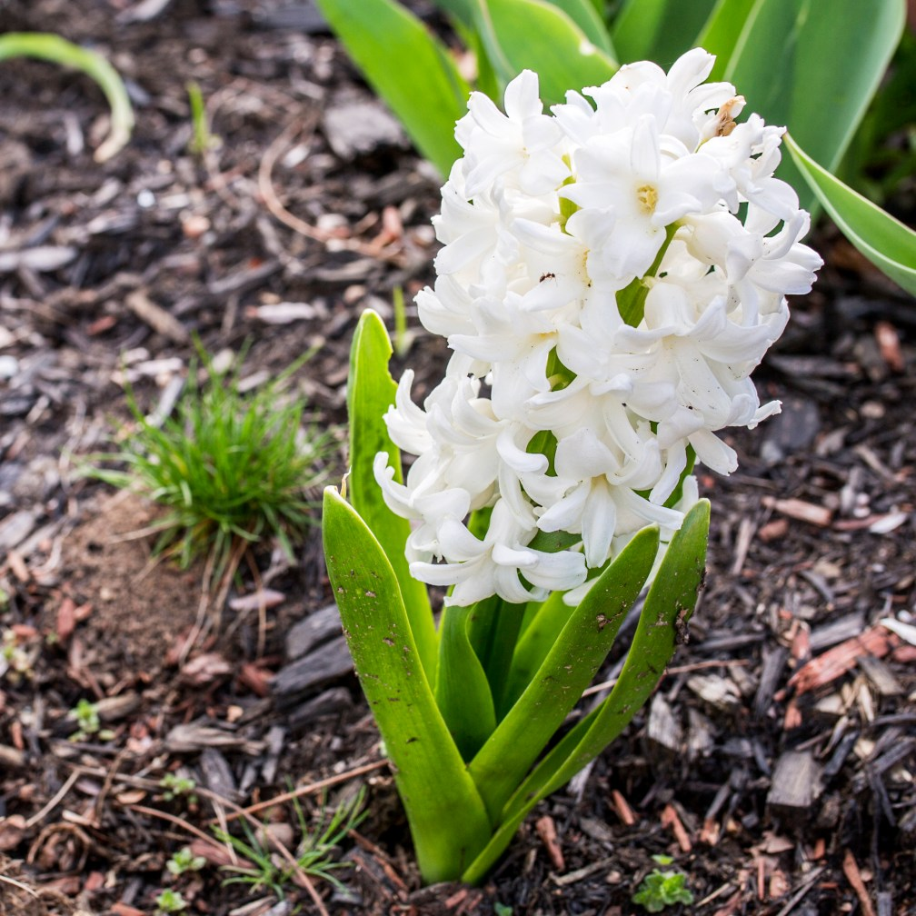 white-hyacinth-with-ant