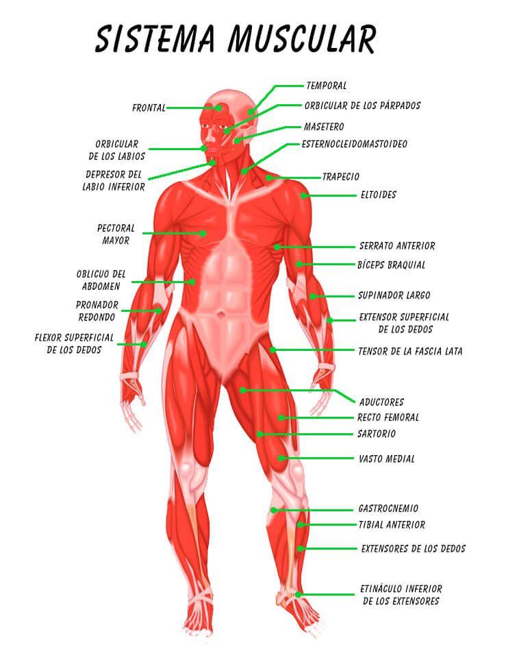 Excelente Sistema De Músculos Galería - Anatomía de Las Imágenesdel ...