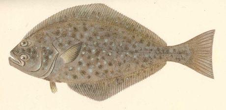FMIB 41970 Halibut (Hippoglossius hippoglossius (Linnaeus)).jpeg