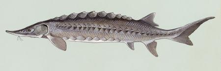 Acipenser oxyrhynchus.jpg
