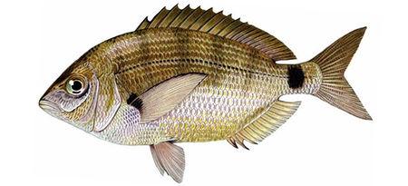 Морской-карась-ласкирь-Diplodus-annularis.jpg