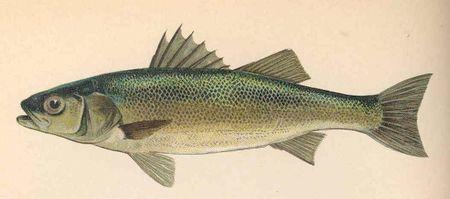 FMIB 51236 Bass (Labrax lupus)1.jpeg