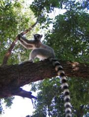 The ring-tailed lemur is unique to the fauna of Madagascar
