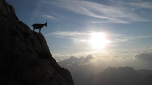 Mountain goat above the clouds in sunset - Alpine Ibex - in Julian Alps_credit iStockPhotos