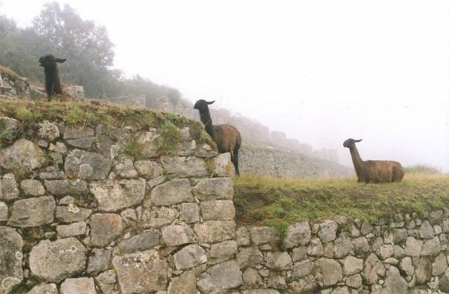 Social Distancing Alpacas, Peru