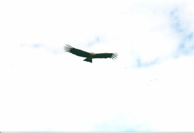 Condor in Flight, Colca Canyon, Peru