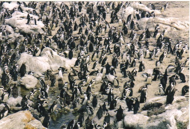 Jackass Penguin Colony, Betty's Bay, Western Cape, South Africa