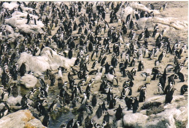 Penguins, Betty's Bay, South Africa