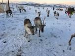 Reindeer, Tromso, Norway
