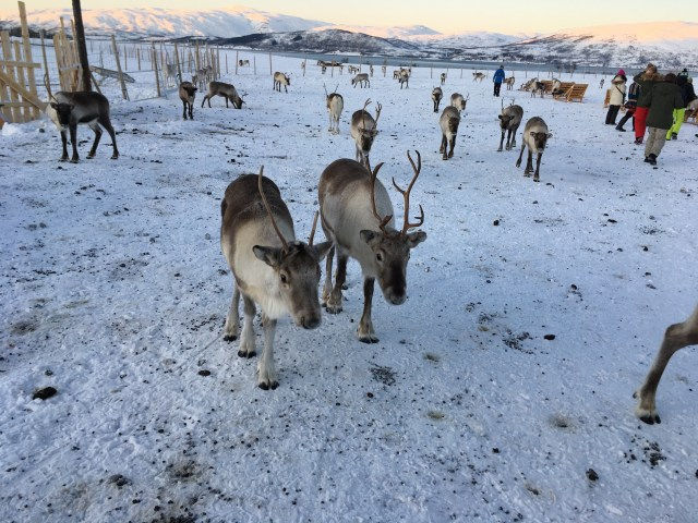 Reindeer Near Tromso, Norway