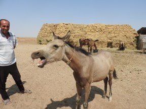 The Akhal-Teke Horses of Turkmenistan