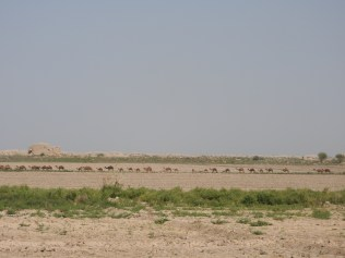 Camel Train, Ancient Merv, Turkmenistan