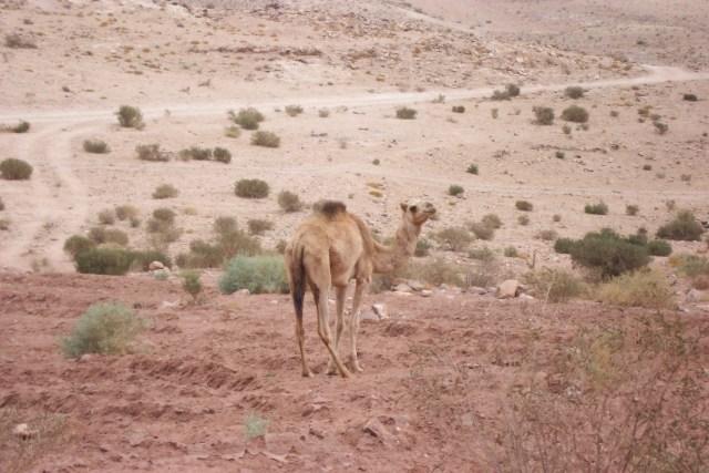 Camel Petra 2