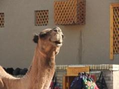 Camel, Khiva, Uzbekistan