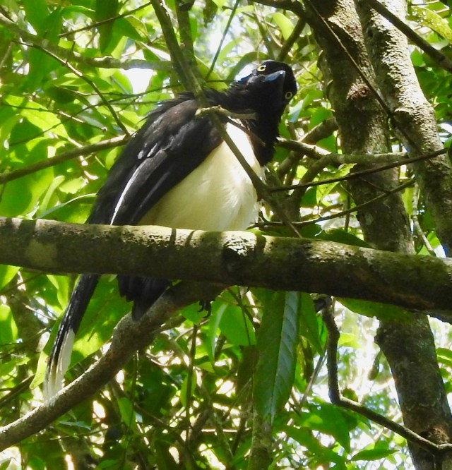 Plush Crested Jay at Iguaza Falls, Argentina