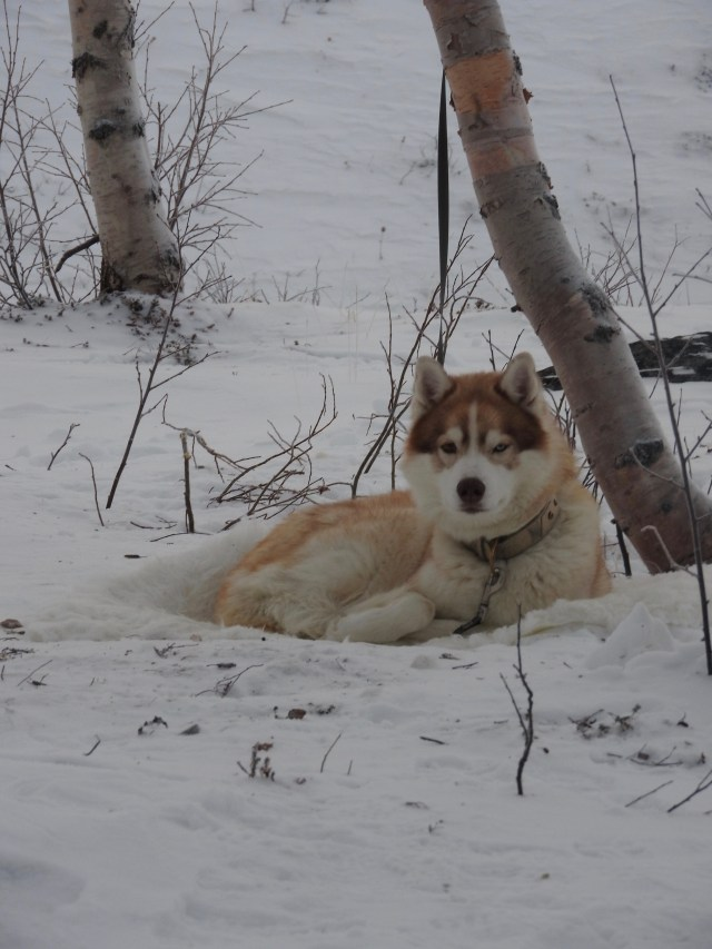 Husky, Abisko, Sweden