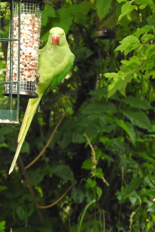 Parakeet, Surrey, UK