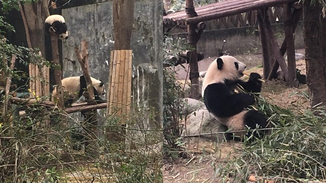 Chengdu Panda Breeding Research Centre, China