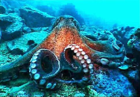 Спрут или осьминог — описание и сколько живут эти животные. Морской осьминог (лат. Octopoda) Осьминог обитание