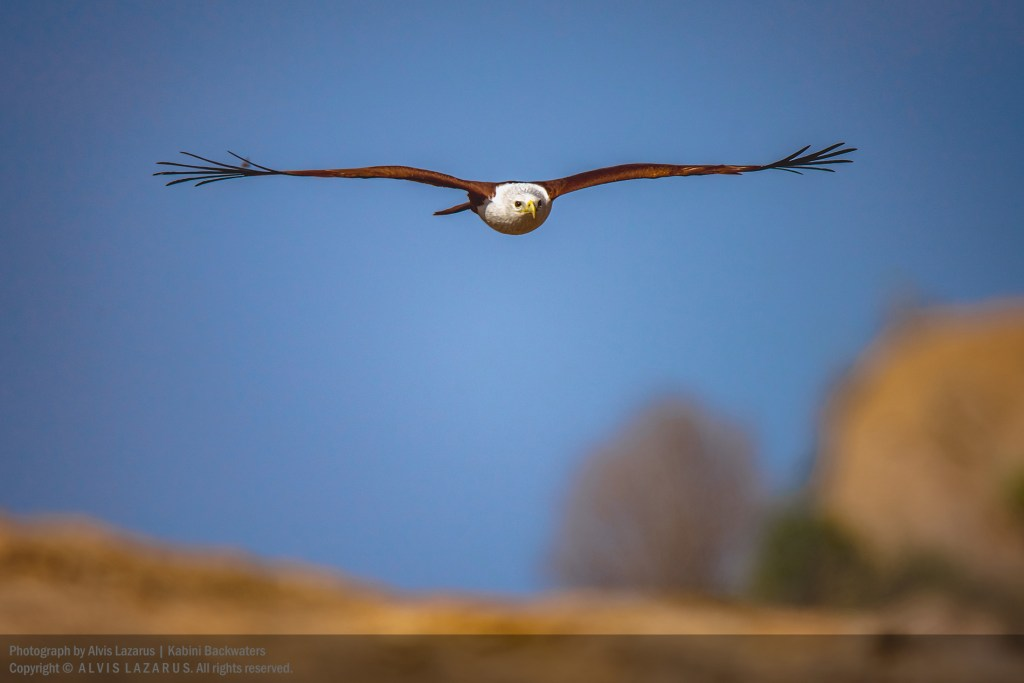 brahminy-kite -head-on-flight bird-photography wildlife-photographer