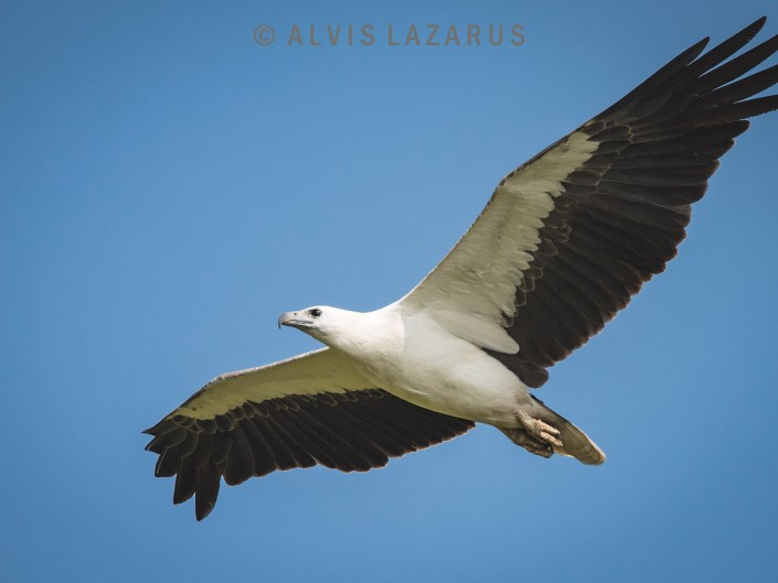 white-bellied-sea-eagle wings bird photography wildlife