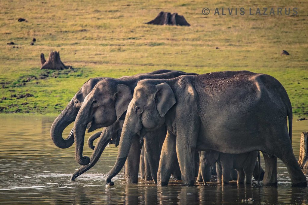 kabini-backwaters nagarhole elephant herd water