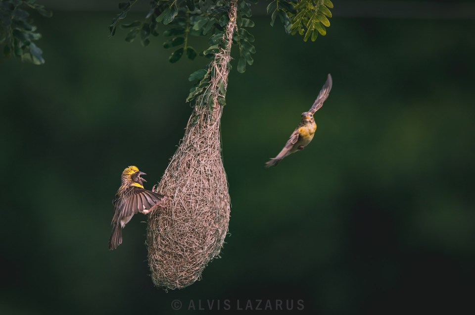 baya-weaver nesting bif flight photography