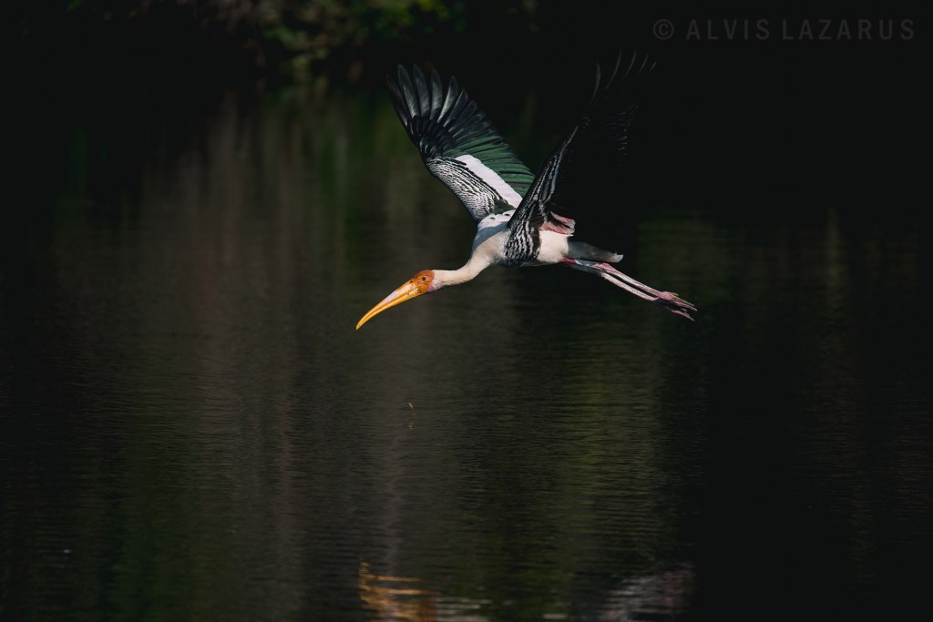 painted-stork bird-in-flight bird photography