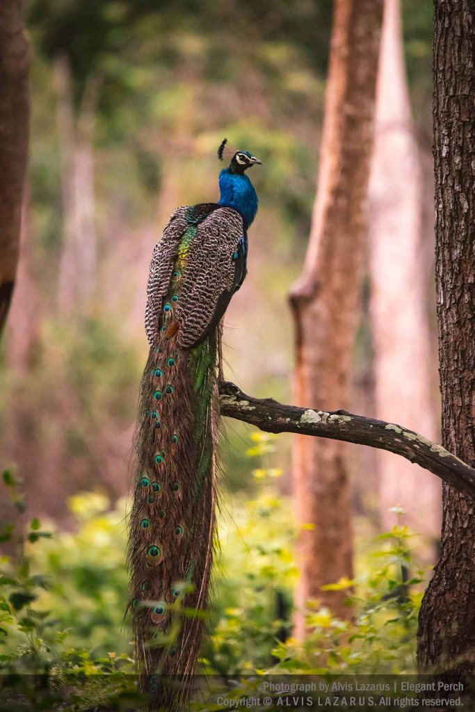 kabini peacock perch wild wildlife