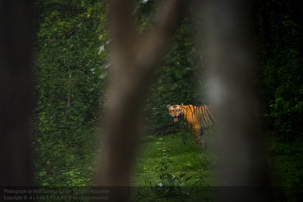 flehmen-response-tiger wildife photographer india wild.photography
